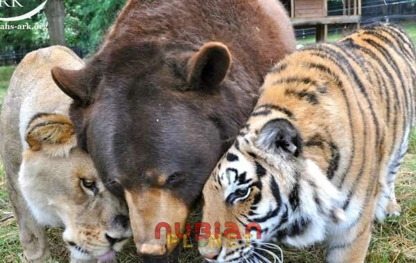 tiger lion and bear live as family